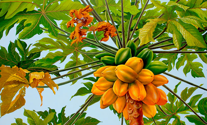 Papaya fruta tropical y medicinal