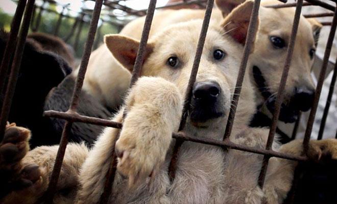 Festival de carne de perros de Yulin
